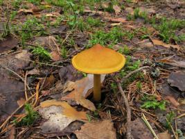Cortinarius_semisanguineus_MVK_20110815-06.JPG
