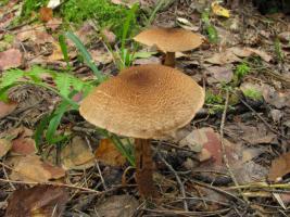 Cortinarius_pholideus_MVK_20080907-01.jpg