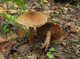 Cortinarius_pholideus_MVK_20080907-02.jpg