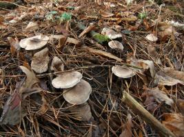 Рядовка землистая Tricholoma terreum 4.jpg