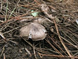 Рядовка землистая Tricholoma terreum 3.jpg