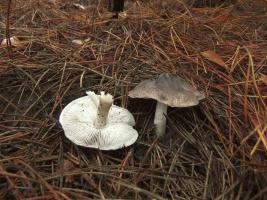Рядовка землистая Tricholoma terreum 7.jpg