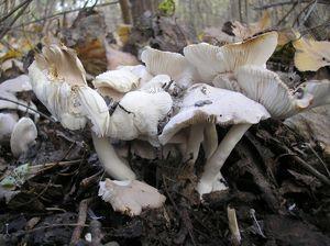 Рядовка желтеющая Tricholoma scalpturatum (24).jpg