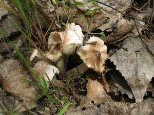 Рядовка желтеющая Tricholoma scalpturatum (27).jpg