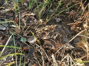 Рядовка тополевая Tricholoma populinum (23).jpg