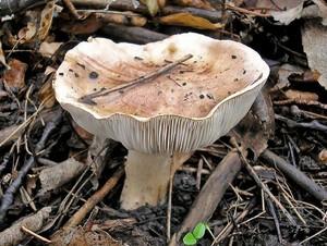 Рядовка тополевая Tricholoma populinum (1).jpg