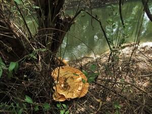 Трутовик серно-жёлтый Laetiporus sulphureus (17).jpg