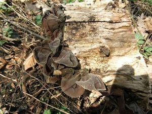 Иудино ухо  Auricularia auricula-judae (28).jpg