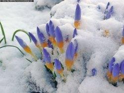 crocus_snow.thumb.jpg.17a85edd576f99c100ade4c3f0606106.jpg