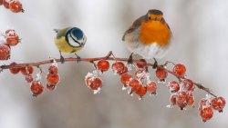pticy-malinovka-sinica-vetka.jpg