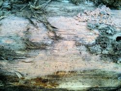 Corticium roseum 171129 осина (3).jpg