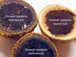180809n63m2 Миит G13 G19 Elaphomyces granulatus.jpg