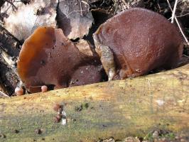 Auricularia_auricula-judae_OK_20090215.JPG