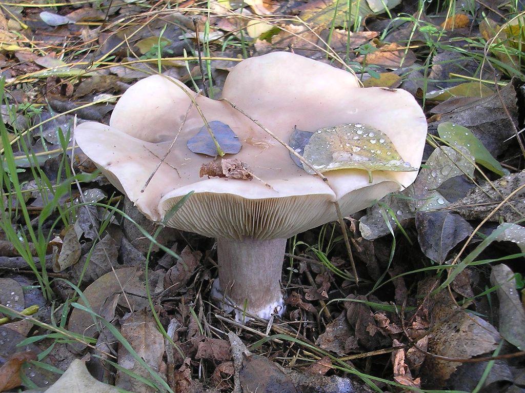 грибы синяя ножка фото и описание считается самым