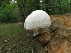 Вольвариелла шелковистая Volvariella bombycina (31).jpg