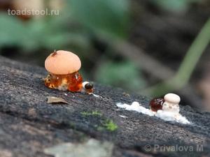 Rhodotus_palmatus_PMV_20160911-01.jpg