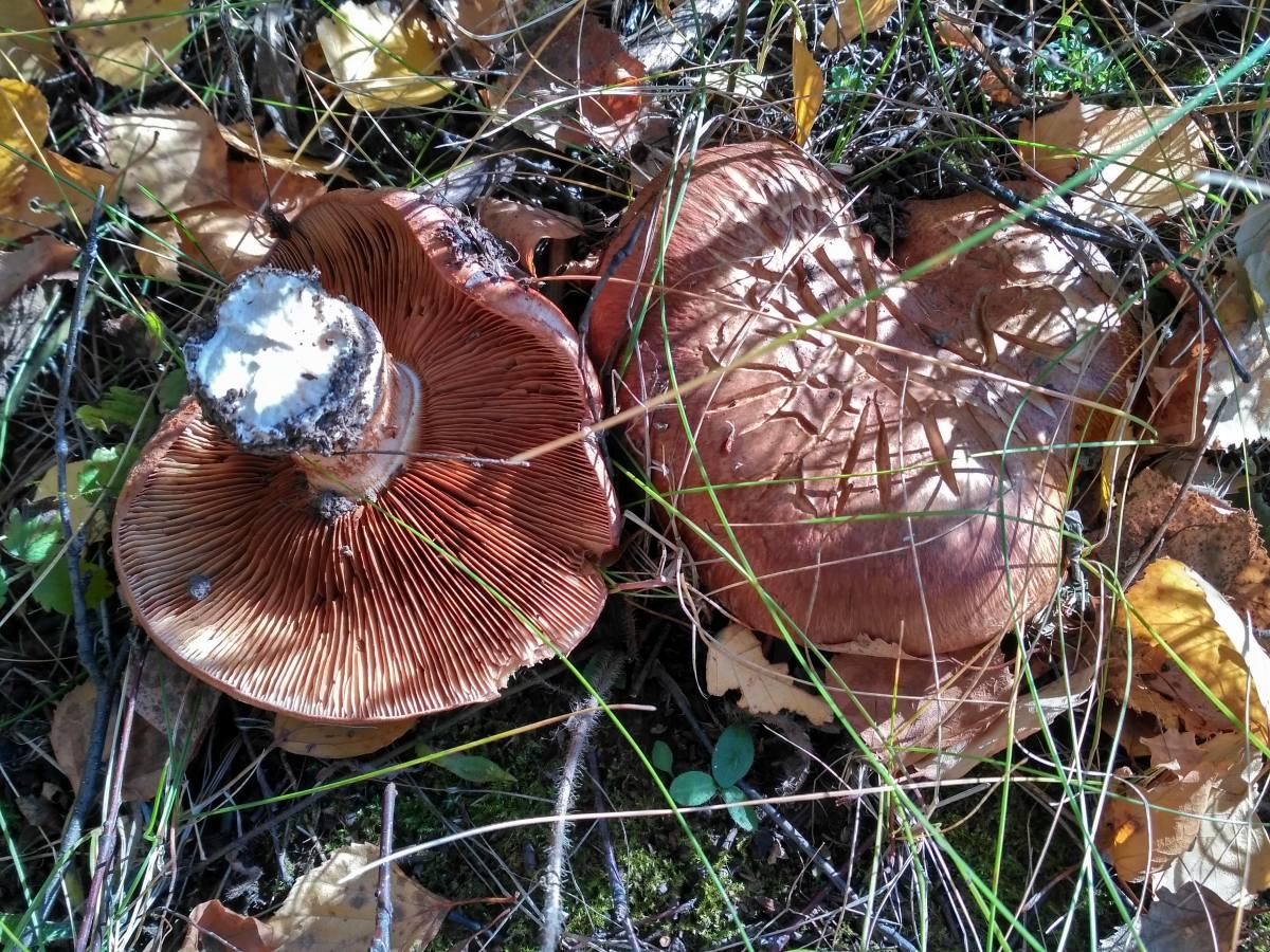 того, какие грибы растут в хабаровске картинки обладал многими положительными