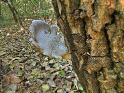 Pleurotus_dryinus_OK_20121022.thumb.jpg.f09dd213b742aecdfca62af8db788a66.jpg