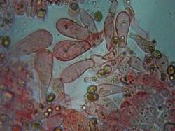 Inocybe rimosa 190714 липа (10).jpg