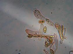 Inocybe perlata 190723 вяз липа (9).jpg
