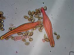 Inocybe muricellata 190816 ель (12).jpg