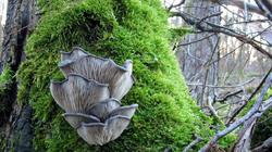Pleurotus_ostreatus_AWP_20100115.thumb.JPG.6523481176d7728ebcae56def82c2716.JPG