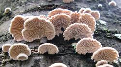 Schizophyllum_commune_AWP_20200129.thumb.JPG.1aa6ed3994f709f2a9253684d3ecb035.JPG