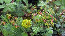 Euphorbia_cyparissias_AWP_20210606.thumb.JPG.8cbcb49eeb5a6bade19e68738018fb15.JPG