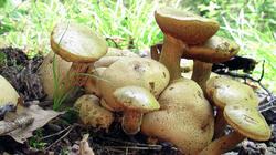 Pseudoboletus_parasiticus_3_AWP_20210721.thumb.JPG.89b2201ec5423c11e68346262ce75310.JPG