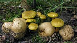 Pseudoboletus_parasiticus_Scleroderma_citrinum_AWP_20210724.thumb.JPG.603ffa56b0539bd1ad479d89731b95c4.JPG